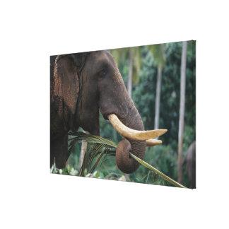 Sri Lanka, Elephant feeds at Pinnewala Elephant 2 Gallery Wrapped Canvas
