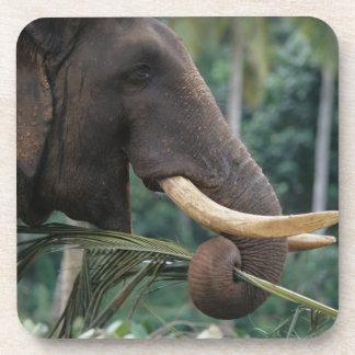 Sri Lanka, Elephant feeds at Pinnewala Elephant 2 Drink Coasters