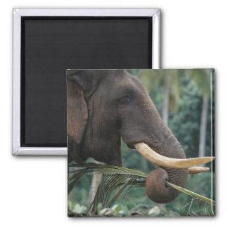 Sri Lanka, Elephant feeds at Pinnewala Elephant 2 Refrigerator Magnets