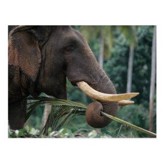 Sri Lanka, Elephant feeds at Pinnewala Elephant 2 Postcards