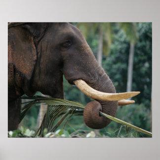 Sri Lanka, Elephant feeds at Pinnewala Elephant 2 Poster