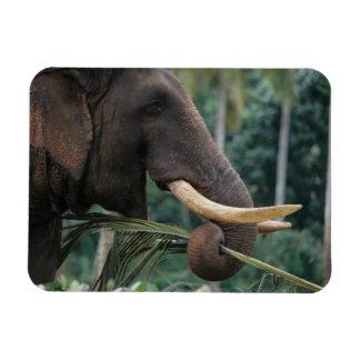 Sri Lanka, Elephant feeds at Pinnewala Elephant 2 Flexible Magnets