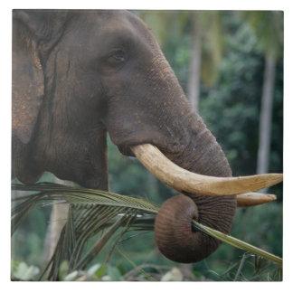 Sri Lanka, Elephant feeds at Pinnewala Elephant 2 Tiles