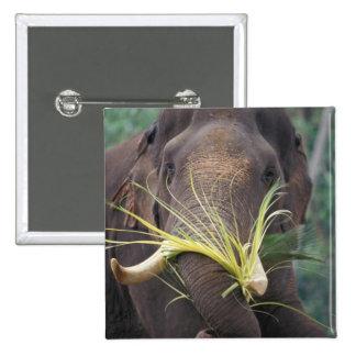 Sri Lanka, Elephant feeds at Pinnewala Elephant Pinback Button
