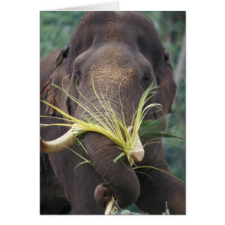 Sri Lanka, Elephant feeds at Pinnewala Elephant Greeting Card