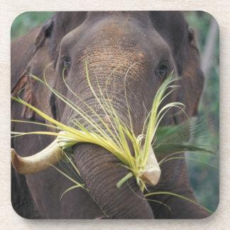 Sri Lanka, Elephant feeds at Pinnewala Elephant Coaster