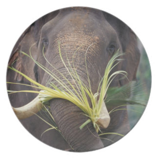 Sri Lanka, Elephant feeds at Pinnewala Elephant Dinner Plate