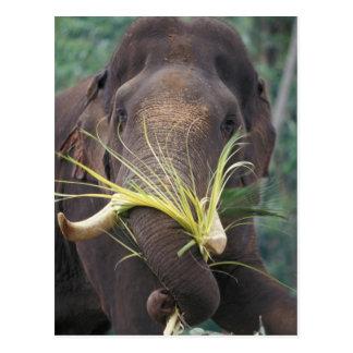 Sri Lanka, Elephant feeds at Pinnewala Elephant Postcards
