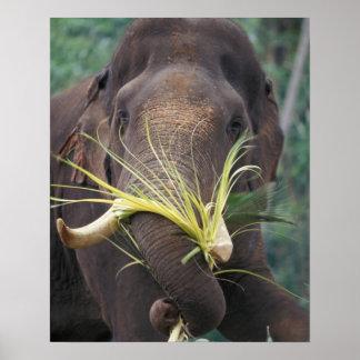 Sri Lanka, Elephant feeds at Pinnewala Elephant Poster