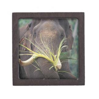Sri Lanka, Elephant feeds at Pinnewala Elephant Premium Jewelry Boxes