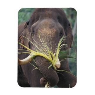Sri Lanka, Elephant feeds at Pinnewala Elephant Magnets
