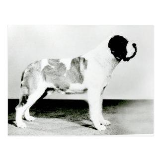 St. Bernard Dog Postcard