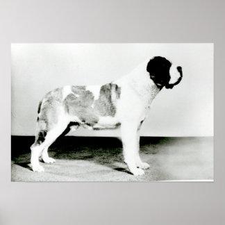 St. Bernard Dog Poster