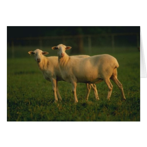 St Croix Hair Sheep Greeting Cards