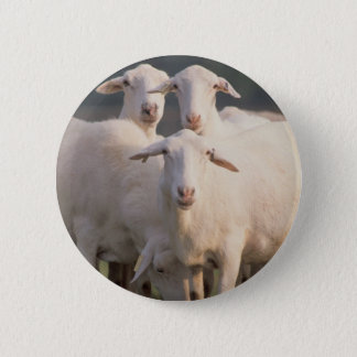 St. Croix sheep Button