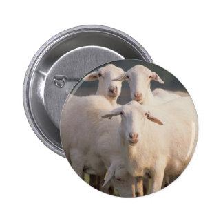 St. Croix sheep Buttons