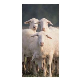 St. Croix sheep Card