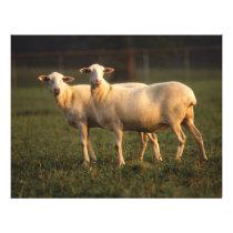 St. Croix sheep Flyer