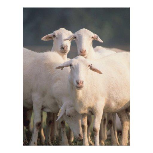 St. Croix sheep Flyer Design
