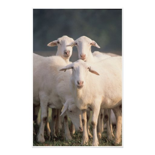 St. Croix sheep Stationery Paper