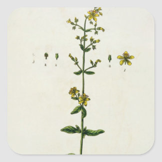 St. John's Wort, plate 15 from 'A Curious Herbal', Square Sticker