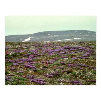 St. Matthew Island, Blackish (or Purple) Oxytrope Postcard
