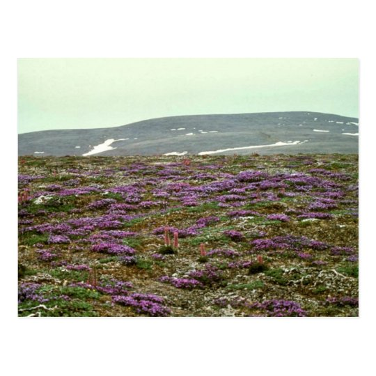 St. Matthew Island, Blackish (or Purple) Oxytrope Postcard