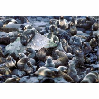 St. Paul Island Fur seal rookery, Pribilofs Cutout