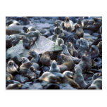 St. Paul Island Fur seal rookery, Pribilofs Postcards