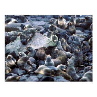 St. Paul Island Fur seal rookery, Pribilofs Postcard