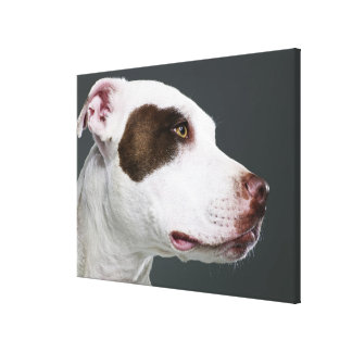 Staffordshire bull terrier, close-up canvas print