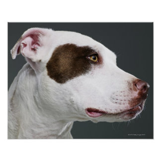 Staffordshire bull terrier, close-up poster