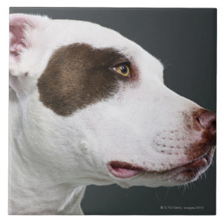 Staffordshire bull terrier, close-up tile