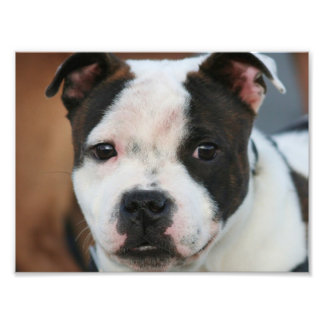 Staffordshire bull terrier photo print
