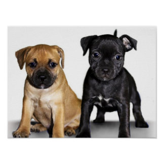 Staffordshire bull terrier puppies poster