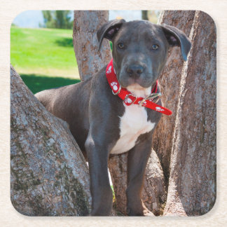 Staffordshire Bull Terrier puppy in a tree Square Paper Coaster
