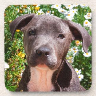 Staffordshire Bull Terrier puppy portrait Coaster