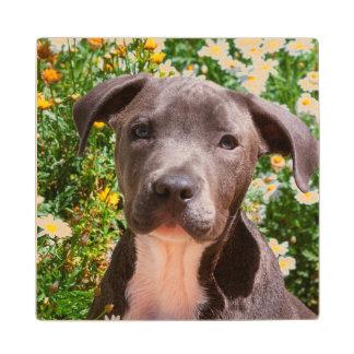 Staffordshire Bull Terrier puppy portrait Maple Wood Coaster