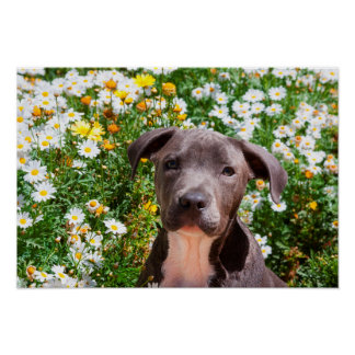Staffordshire Bull Terrier puppy portrait Print