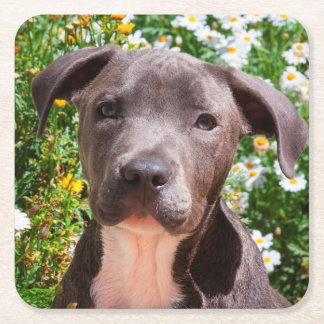 Staffordshire Bull Terrier puppy portrait Square Paper Coaster