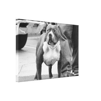 Staffordshire Terrier americano Lona Envuelta Para Galerías