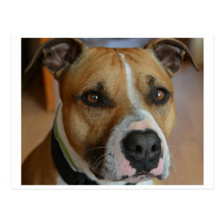 staffy.png post cards