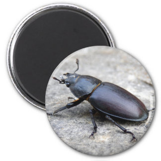 Stag Beetle Magnet