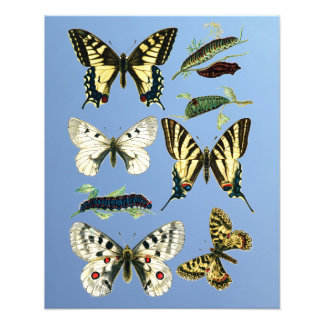 Stages in the life of Swallowtail Butterflies Photo Print