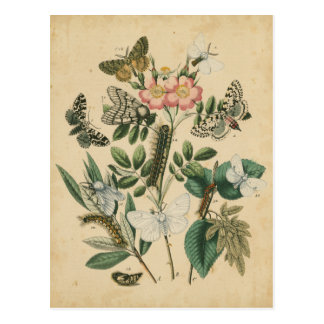 Stages of Butterfly Life by Vision Studio Postcard