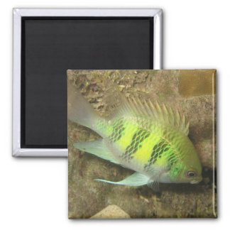 Staghorn Damselfish 2 Inch Square Magnet
