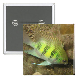 Staghorn Damselfish Pinback Buttons