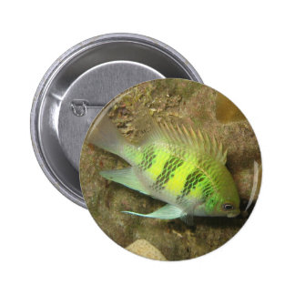 Staghorn Damselfish Buttons
