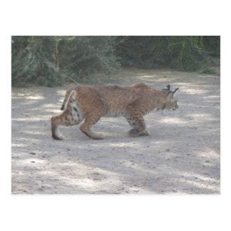 Stalking Bobcat Postcard