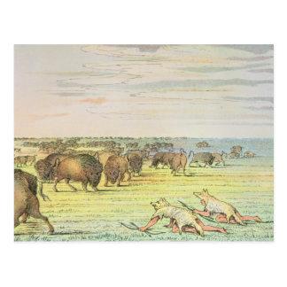 Stalking buffalo postcard
